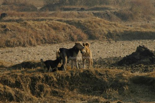 An INDog family in a tribal hamlet near Similipal Tiger Reserve, Odisha