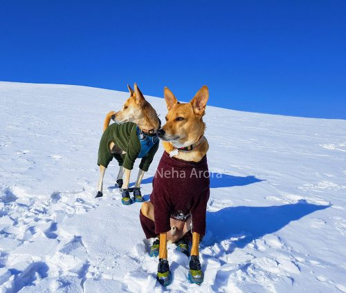 INDogs Je Bo and Champak Lal, currently living in Mongolia with their owners Neha Arora and Anoop Kayarat. Photo: Neha Arora