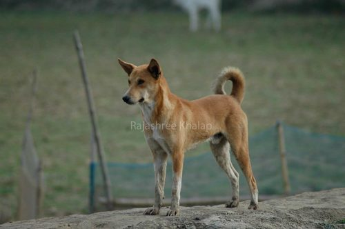 A pet INDog in a village in the Sundarbans area of Eastern India